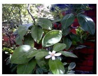 Boisson et plante pour dormir Tisane Oranger Bigarade bouton floral