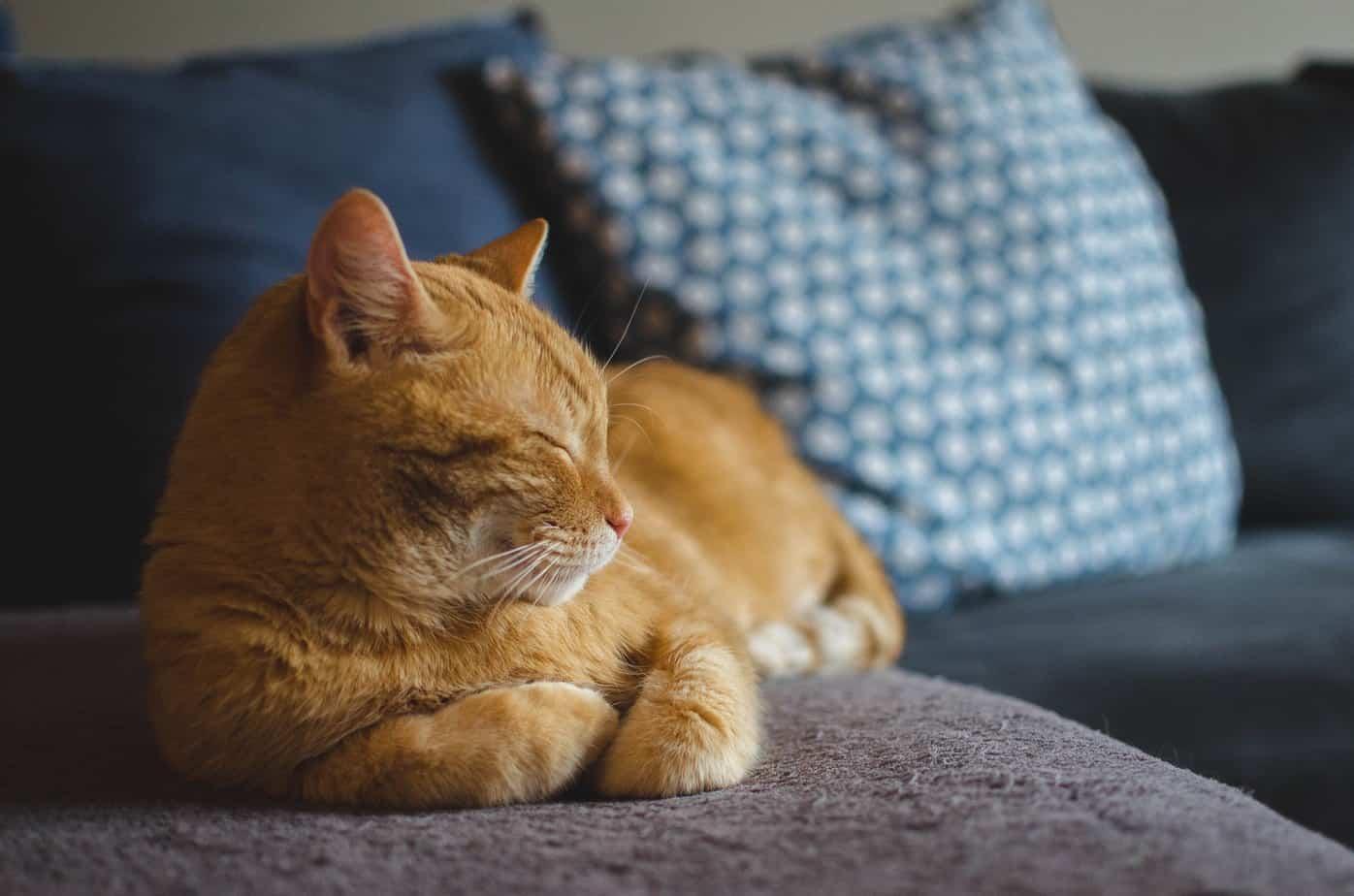 votre animal de compagnie le chat un grand reveur