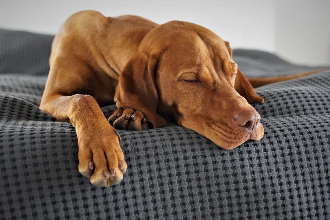 comprendre le sommeil de votre animal de compagnie le chien remede insomnie